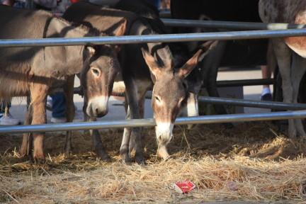 Band of donkeys in Spanish fiesta