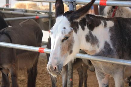 Donkeys typically spanish