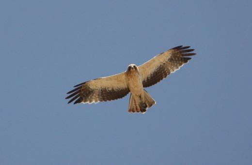 Eagles in Spain